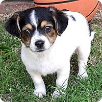 Adopt A Pet :: *Baby Brooke - PENDING - Westport, CT