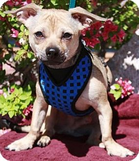 Dachshund/Terrier (Unknown Type, Small) Mix Dog for adoption in Gilbert, Arizona - Curry