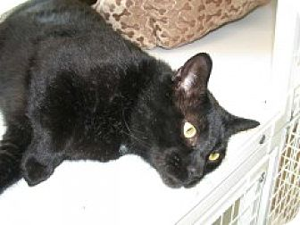 Domestic Shorthair Cat for adoption in McHenry, Illinois - Arrow