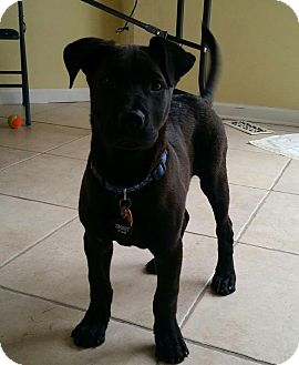 Labrador Retriever Mix Puppy for adoption in North Brunswick, New Jersey - Brody