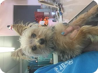 Yorkie, Yorkshire Terrier Dog for adoption in Kempner, Texas - Gucci