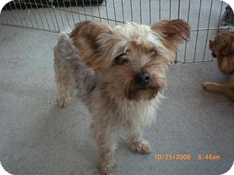 Yorkie, Yorkshire Terrier/Silky Terrier Mix Dog for adoption in Long Beach, California - Pebbles
