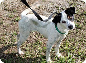 Rat Terrier Mix Dog for adoption in Salem, New Hampshire - PRINCESS SOPHIE