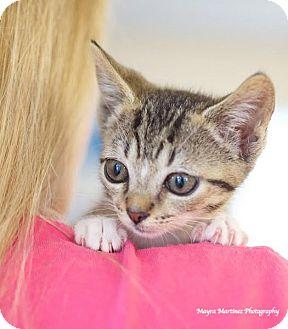 Domestic Shorthair Kitten for adoption in Huntsville, Alabama - Sid