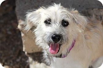 Border Terrier Mix Dog for adoption in Norwalk, Connecticut - Mabel - adoption pending