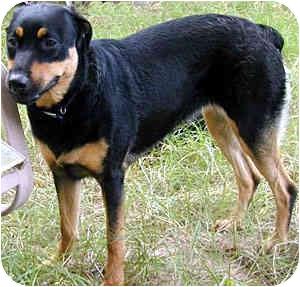 Rottweiler/German Shepherd Dog Mix Dog for adoption in Cedar Creek, Texas - Gilda