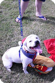 American Bulldog/English Bulldog Mix Dog for adoption in Greenfield, Wisconsin - Courtney