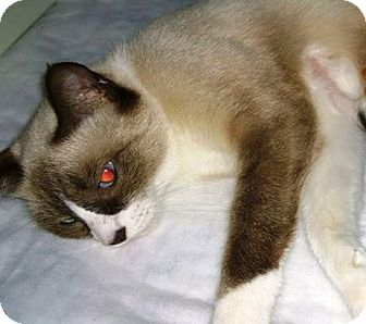 Snowshoe Cat for adoption in Ravenna, Texas - Yvonne