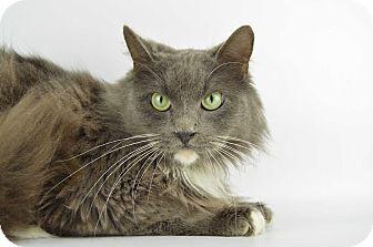 Domestic Mediumhair Cat for adoption in LAFAYETTE, Louisiana - COUGAR