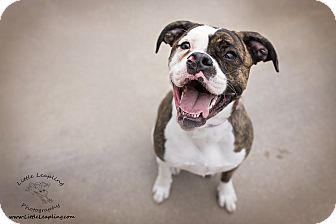 American Bulldog Dog for adoption in Manhattan, Kansas - Sheprei- adoption pending
