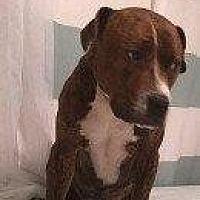 Bull Terrier Mix Dog for adoption in Hampton, Virginia - ROLO