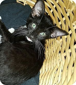 Domestic Shorthair Kitten for adoption in Tampa, Florida - Reese