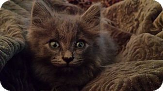Persian Kitten for adoption in San Dimas, California - Yota
