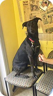 Labrador Retriever Mix Dog for adoption in Henderson, Kentucky - Giddie