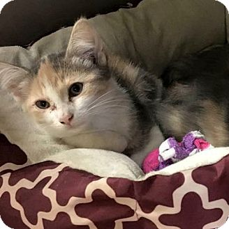 Domestic Shorthair Kitten for adoption in Flint, Michigan - Josie