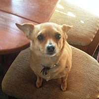 Chihuahua Mix Dog for adoption in Westminster, Colorado - Sunny - courtesy listing