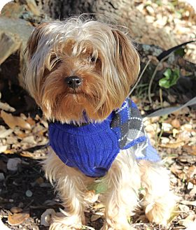 Yorkie, Yorkshire Terrier/Terrier (Unknown Type, Small) Mix Dog for adoption in Jacksonville, Florida - CHARLIE