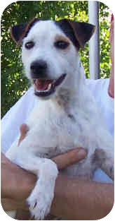 Jack Russell Terrier Dog for adoption in Phoenix, Arizona - SAMMIE JO