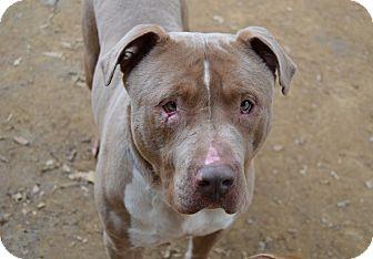 Mastiff/American Staffordshire Terrier Mix Dog for adoption in Santa Barbara, California - Hoss