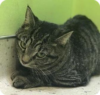 Domestic Shorthair Cat for adoption in Janesville, Wisconsin - Girlfriend