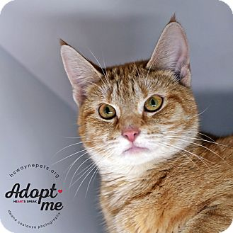 Domestic Shorthair Cat for adoption in Lyons, New York - Violet