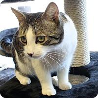 Domestic Shorthair Cat for adoption in Exton, Pennsylvania - Jake (Morgantown)