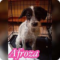 Adopt A Pet :: Afroza - Smithtown, NY