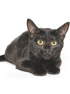Domestic Shorthair/Domestic Shorthair Mix Cat for adoption in Gloucester, Virginia - CYPRESS