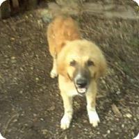 Adopt A Pet :: Teddy Bear - Iowa, Illinois and Wisconsin, IA