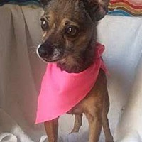 Adopt A Pet :: Chica! *FOSTER NEEDED 8/17!* - New York, NY