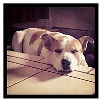 Adopt A Pet :: Buddy Boy - Miami, FL