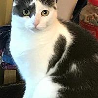 Domestic Shorthair Cat for adoption in Philadelphia, Pennsylvania - Hope