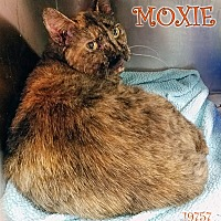 Adopt A Pet :: Moxie - Oak Ridge, TN