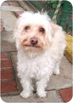 Dandie Dinmont Terrier/Poodle (Miniature) Mix Dog for adoption in New York, New York - NEMO