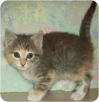 Calico Kitten for adoption in North Judson, Indiana - Yoda