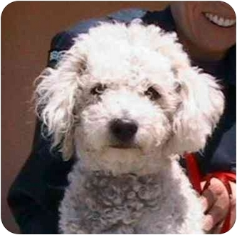 Poodle (Miniature) Mix Dog for adoption in Berkeley, California - Bam-Bam