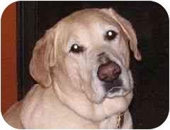 Labrador Retriever Dog for adoption in San Diego, California - CJ