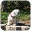Photo 3 - Bichon Frise Mix Dog for adoption in La Costa, California - Marley the Mellow Fellow