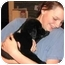 Photo 2 - Border Collie/Labrador Retriever Mix Puppy for adoption in Naperville, Illinois - Scout IS ADOPTED