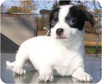 Chihuahua Mix Puppy for adoption in Oswego, Illinois - Freedom PENDING