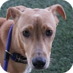 Whippet Mix Puppy for adoption in Eatontown, New Jersey - Hennessy