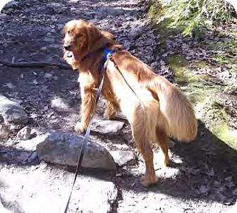Golden Retriever Dog for adoption in New Canaan, Connecticut - Chappy