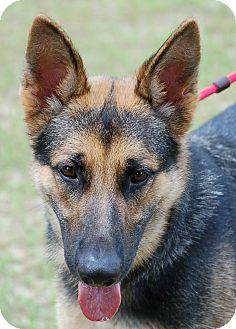 German Shepherd Dog Mix Puppy for adoption in Preston, Connecticut - Brodie
