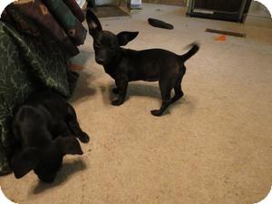Dachshund/Chihuahua Mix Dog for adoption in Naugatuck, Connecticut - Bella
