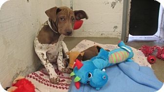 English Pointer/Shar Pei Mix Puppy for adoption in Litchfield Park, Arizona - Bly - Only $95 adoption!