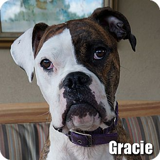 Boxer Dog for adoption in Encino, California - Gracie