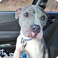 Adopt A Pet :: Dillon - Reisterstown, MD