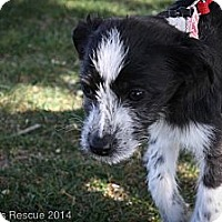 Adopt A Pet :: Bunny - Broomfield, CO