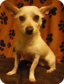 Chihuahua Mix Dog for adoption in Gary, Indiana - ChiChi