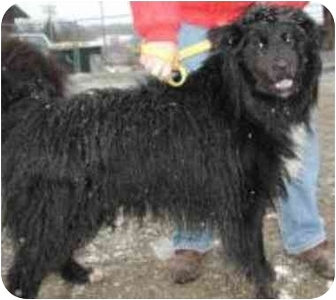 Flat-Coated Retriever/Collie Mix Dog for adoption in Oxford, Michigan - Shiloh